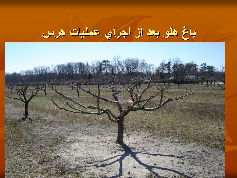 تربیت و هرس درختان هلو در باغات میوه تجاری
